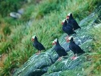 Tufted puffin Lunda cirrhata